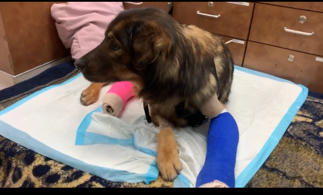 Pet of the Week: 2-year-old shepherd mix hit by car and left with over 6 fractures