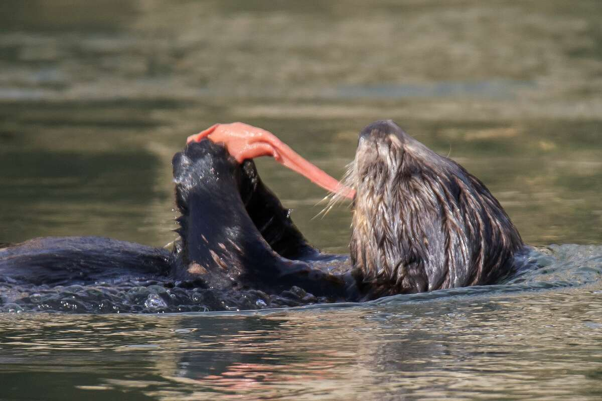Southern (California) Sea Otter eating Fat Innkeeper Worm close-up in Elkhorn Slough, California.