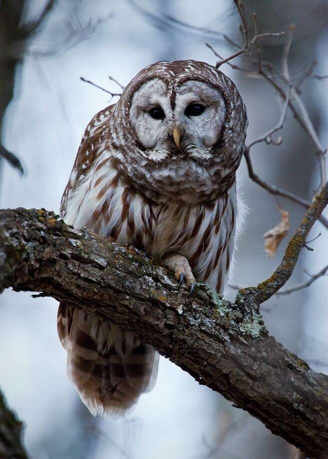 Residents are invited to join the Sharon Audubon Center and fellow bird-lovers for the annual Christmas Bird Count, set for Sunday. Above, a barred owl. Photo: Benjamin Olson / Audubon Photography Awards / Contributed Photo