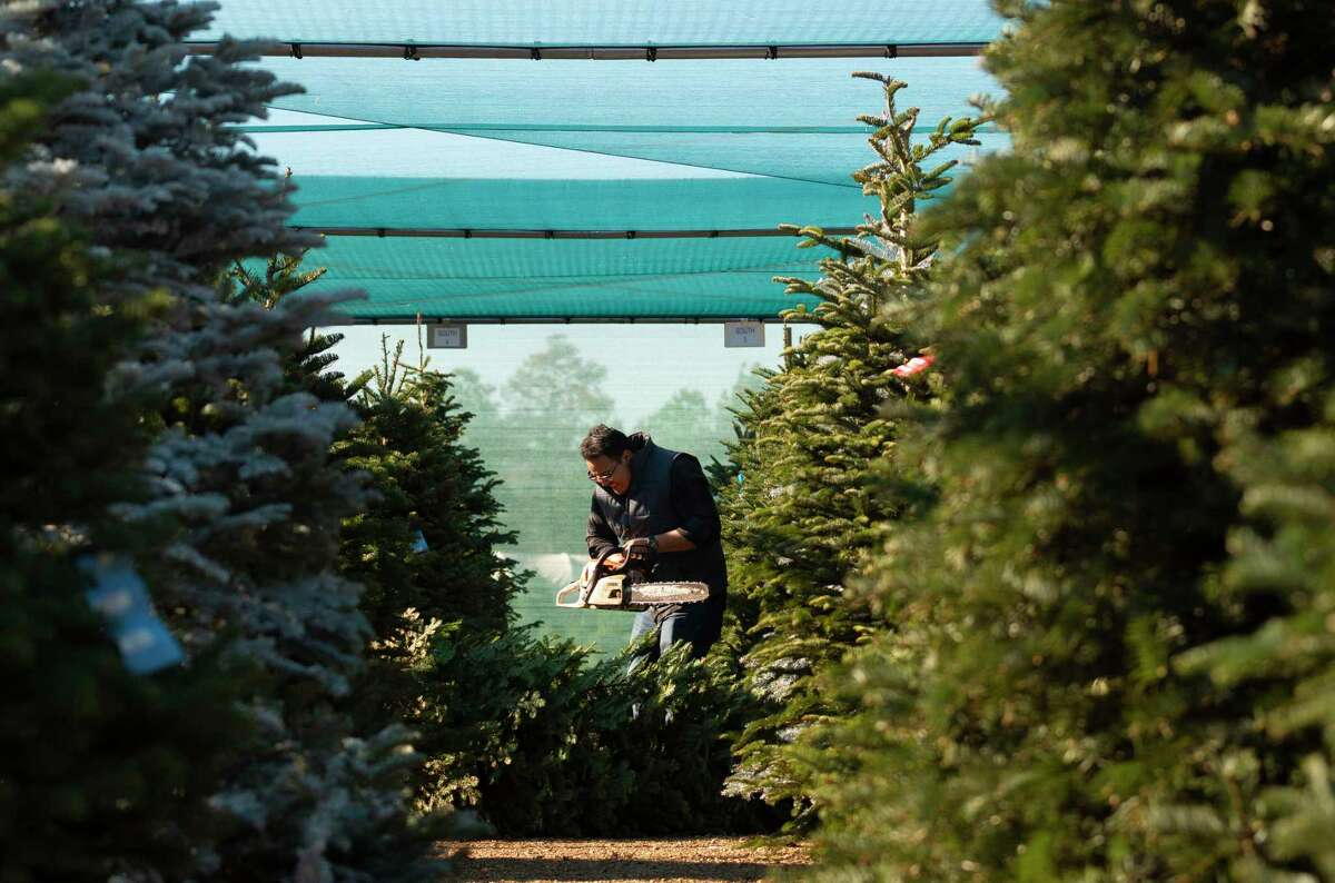 Kevin Argueta prepares to cut a Christmas tree at Spring Creek Growers, Wednesday, Dec. 11, 2019, in Magnolia.