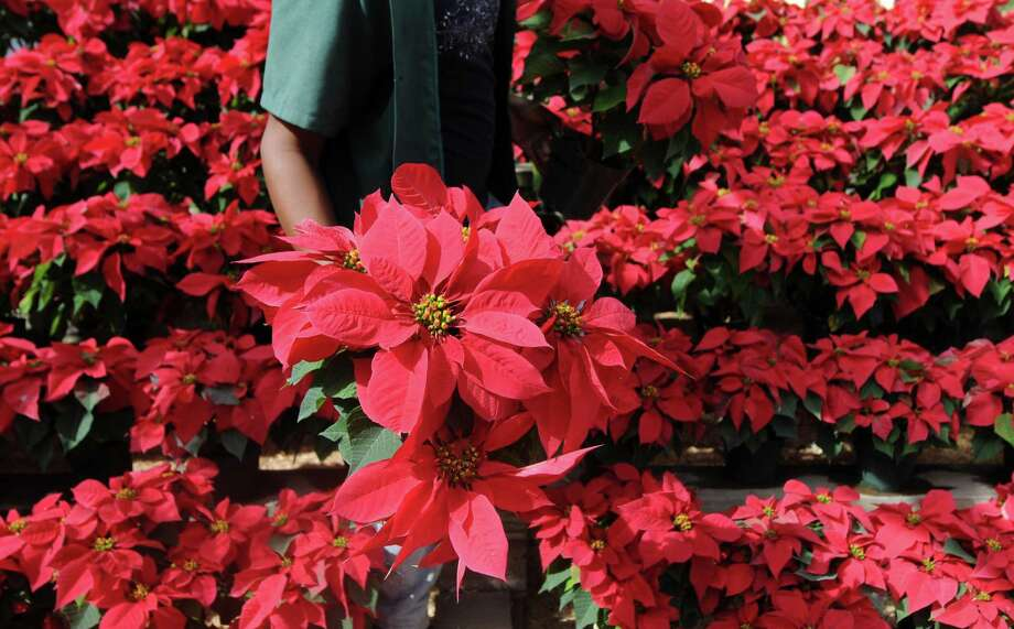 A vendor sells poinsettias, indigenous to Mexico and Central America, at a nursery in Tegucigalpa. Photo: ORLANDO SIERRA, Staff / AFP/Getty Images / AFP