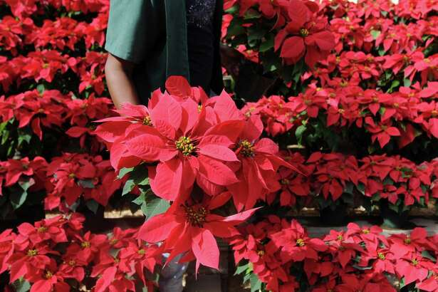 A vendor sells poinsettias, indigenous to Mexico and Central America, at a nursery in Tegucigalpa.