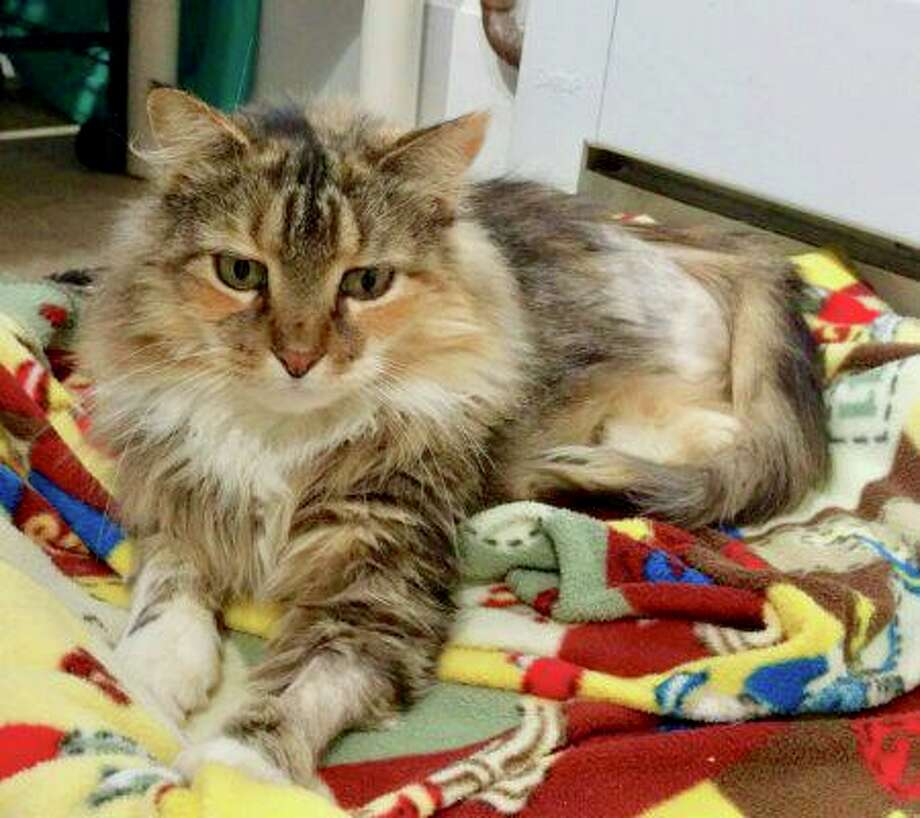 """Ginger is a 5-year-old female domestic longhair kitty. She says, """"My name in Ginger and I was brought to Cat Tales after I was hit by a car. Due to the injuries caused by the accident, my hind leg was amputated. I'm getting the best care possible and healing well. Despite this, I'm extremely sweet, love to be petted and love attention. I prefer to be the only pet and in a quiet home. A house with carpets would be helpful as I learn to walk on three legs. Come meet me and see what a wonderful companion I will make."""" Visithttp://www.CatTalesCT.org/cats/Ginger, call 860-344-9043, or email: info@CatTalesCT.org. Watch our TV commercial: https://youtu.be/Y1MECIS4mIc Photo: Contributed Photo"""