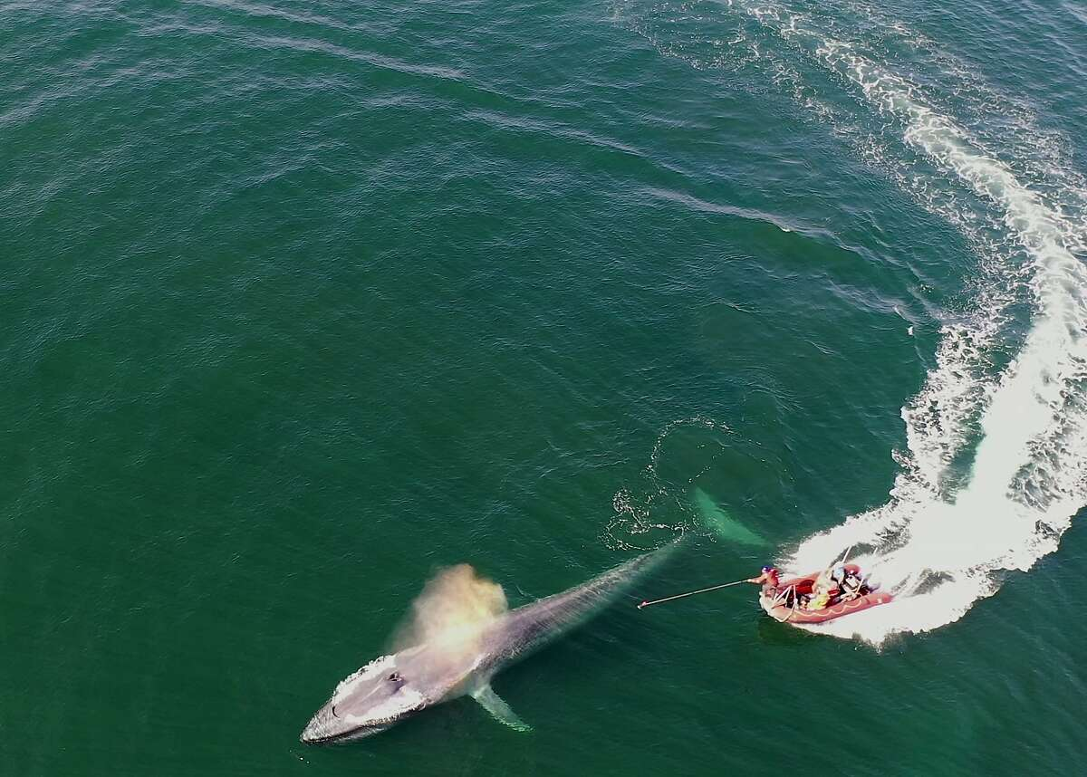 This November 2019 photo provided by Elliott Hazen shows a blue whale being tagged in eastern Pacific. Whales are big, but why aren't they bigger? A new study released on Thursday, Dec. 12, 2019 says it's basically about how many calories they can take in.