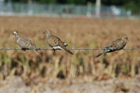 Scouting is crucial to success during winter dove season since the birds tend to concentrate in areas with low ground cover and lots of seeds from wild native plants.