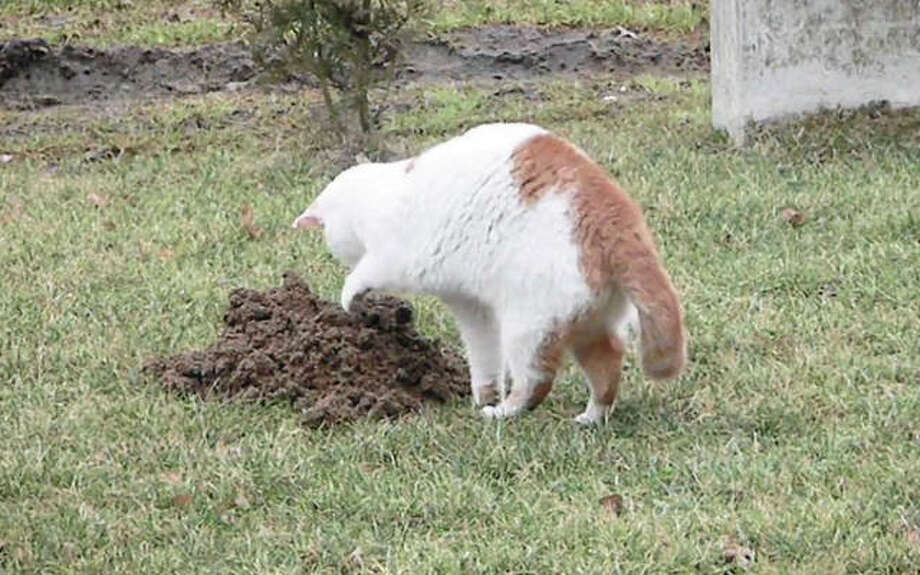 """A former feral cat hunts for rodents on a Metro East Sanitary District levee. The MESD has """"adopted"""" a number of the cats for rodent control, a major concern along the levees where burrowing animals can threaten the integrity of flood protection devices. Photo: For The Intelligencer"""