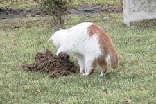 """A former feral cat hunts for rodents on a Metro East Sanitary District levee. The MESD has """"adopted"""" a number of the cats for rodent control, a major concern along the levees where burrowing animals can threaten the integrity of flood protection devices."""