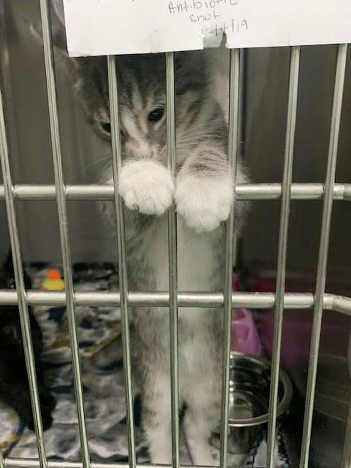 The Fairfield Animal Shelter is looking to find homes for five kittens found near the Grasmere Sunoco and the Home Depot about a month ago. Photo: Fairfield Animal Control / Contributed