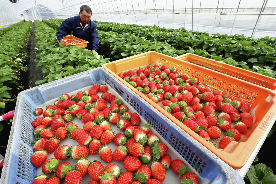 A strawberry farmer picks strawberries as the harvested fruits are seen in boxes in Kanuma, Tochigi Prefecture, Japan, on December 13, 2019. Photo: Japan News-Yomiuri / Japan News-Yomiuri
