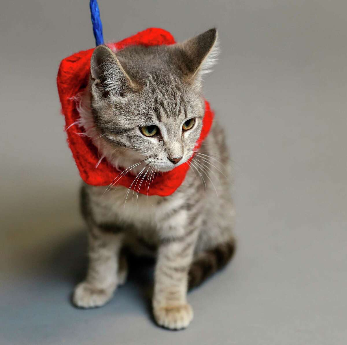 Wendy (A547263) is a 14-week-old, female, grey tabby kitten available for adoption from the Harris County Animal Shelter. Photographed, Monday, Dec. 16, 2019, in Houston. Wendy was surrendered by her owner to the shelter, for unknown reasons, however the former owners noted that she travels well in a carrier, and is litter box trained, and loves men and women. The Harris County Animal Shelter is participating in a holiday adoption/foster event that Best Friends is initiating in collaboration with BARC, Harris County Animal Shelter, Montgomery County Animal Shelter and Fort Bend Animal Services Center. The local shelters typically see an uptick in animal intake right before holidays. Yet, the holidays are also a popular time for people to acquire a pet. So, in this season of giving we are urging the community to be