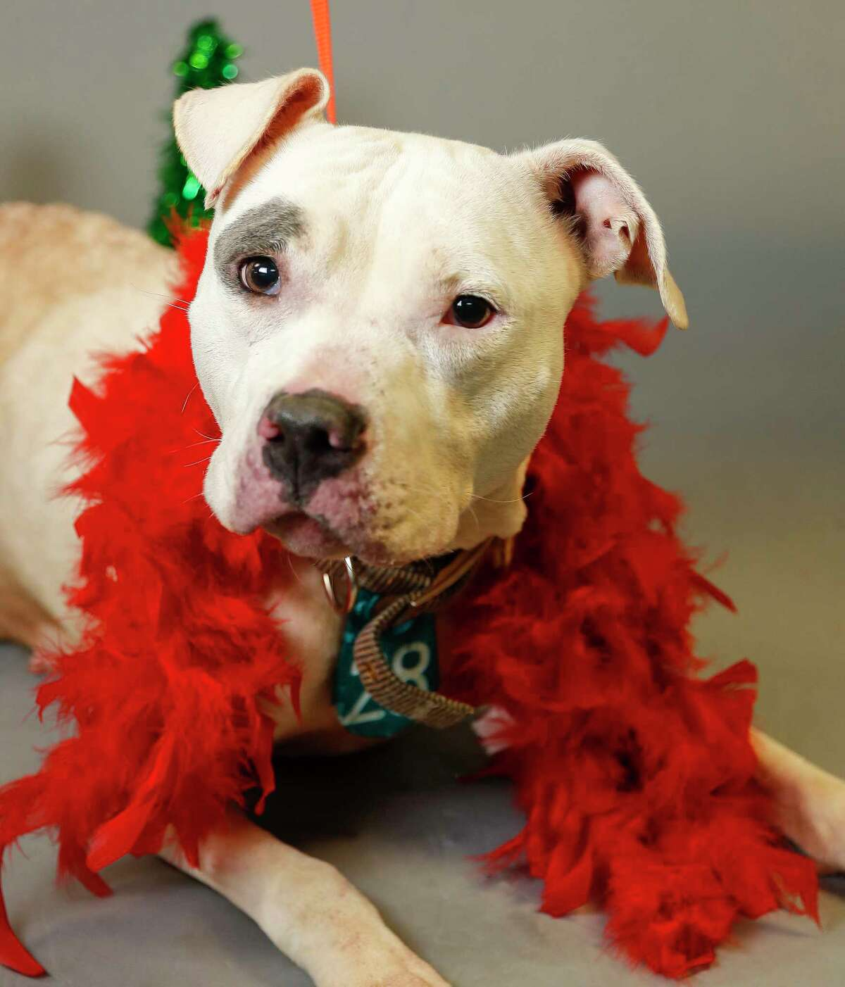 Layla (A547118) is a 3-year-old, female, white/blue Pit Bull mix available for adoption from the Harris County Animal Shelter. Photographed, Monday, Dec. 16, 2019, in Houston. Layla was brought into the shelter by a concerned citizen, who convinced his neighbor to surrender her, and another dog, because they were being neglected. Layla and her friend, Queen were not being cared or fed. Layla is very outgoing and sweet. Loves treats and attention.