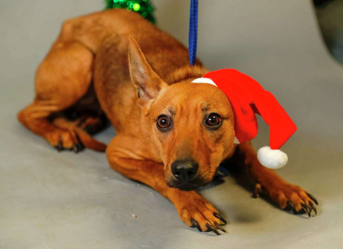 Queen (A547119) is a 1-year-old, female, Whippet mix available for adoption from the Harris County Animal Shelter. Photographed, Monday, Dec. 16, 2019, in Houston. Queen was brought into the shelter by a concerned citizen, who convinced his neighbor to surrender her, and another dog, because they were being neglected. Queen and her friend, Layla were not being cared or fed. Queen is very shy, and timid.