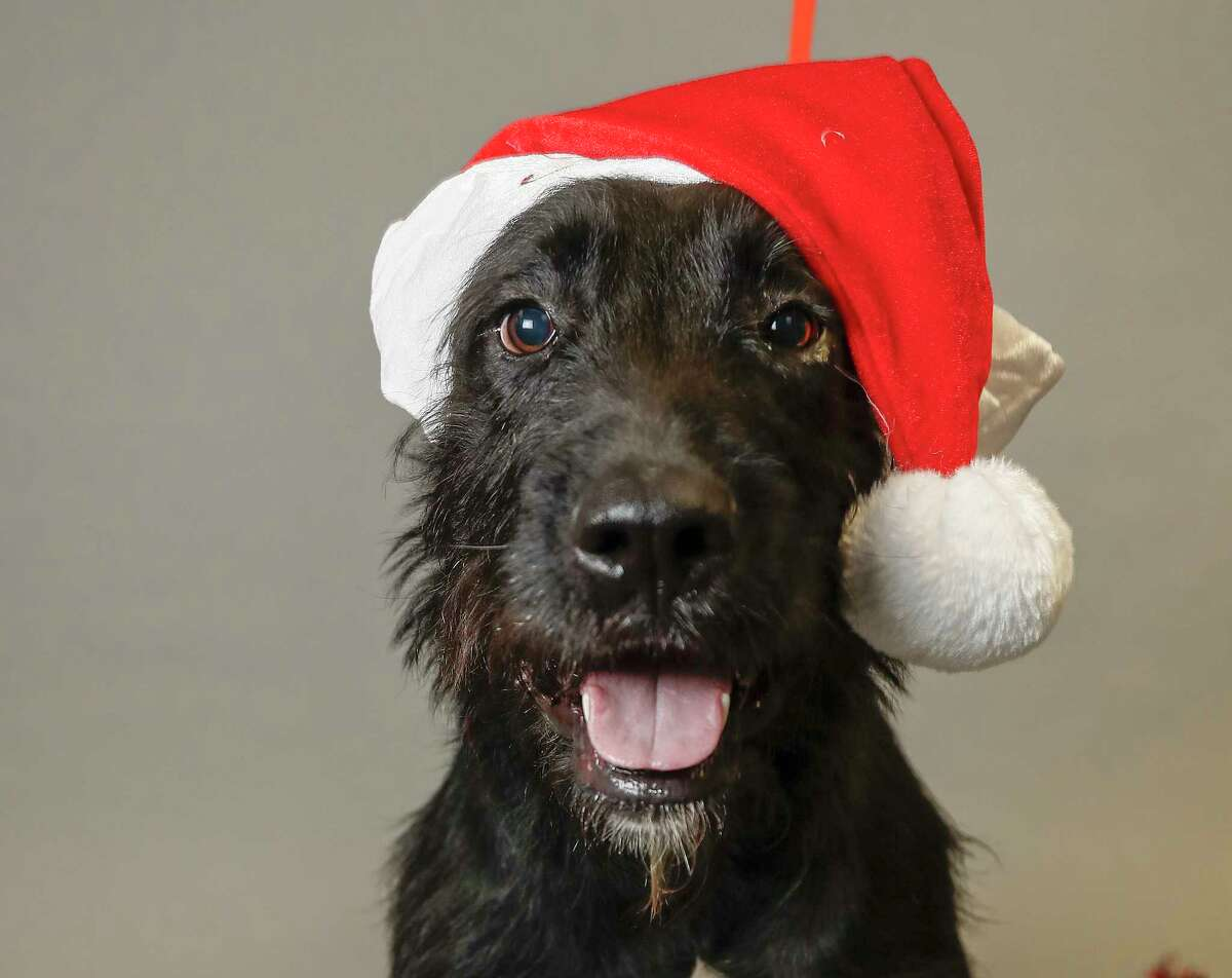 Scruff McGruff (A547008) is a 5-year-old, male, black Airedale Terrier mix available for adoption from the Harris County Animal Shelter. Photographed, Monday, Dec. 16, 2019, in Houston. Scruff McGruff thinks he's a puppy. Very playful and energetic!