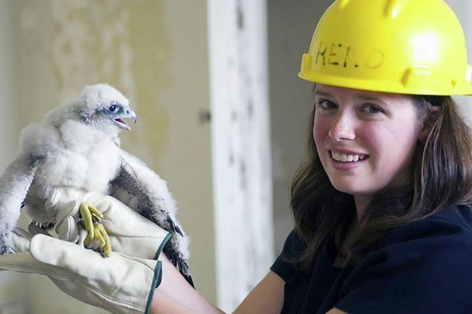 Michiganology.org includes the photo archive of the Michigan Department of Natural Resources. In this image, taken around 2006 by former DNR photographer David Kenyon, a Wildlife Division employee holds a peregrine falcon chick after banding. Young peregrine falcons are banded so they can be identified later should they turn up in another state or be found injured. (Courtesy Photo/Michigan Department of Natural Resources)