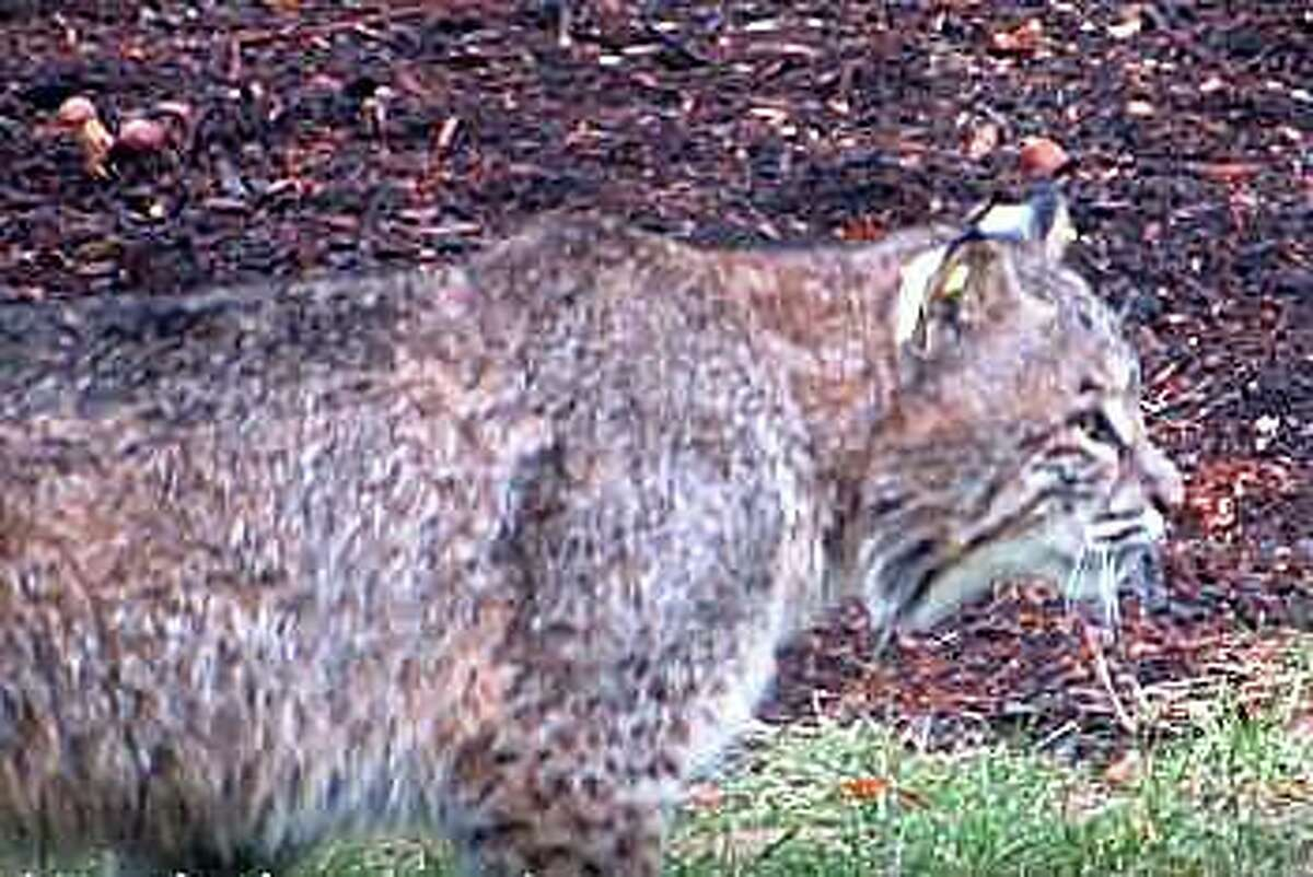 During the investigation of a bobcat attack in Fairfield, Animal Control officers were able to obtain a video which was recorded by a neighbor near Brett Road a week prior to this incident. This image is from a video of a bobcat that frequents the area.