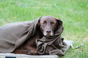 A very tired and cold dog wrapped in a blanket.
