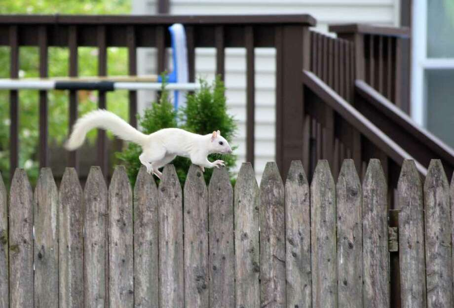 A white squirrel was spotted in a Stratford backyard on Wednesday August 11, 2010. Sightings like these are rare, especially in CT. I Photo: Contributed Photo\Amanda Finn, Contributed Photo\Amanda Finn  / Connecticut Post Contributed