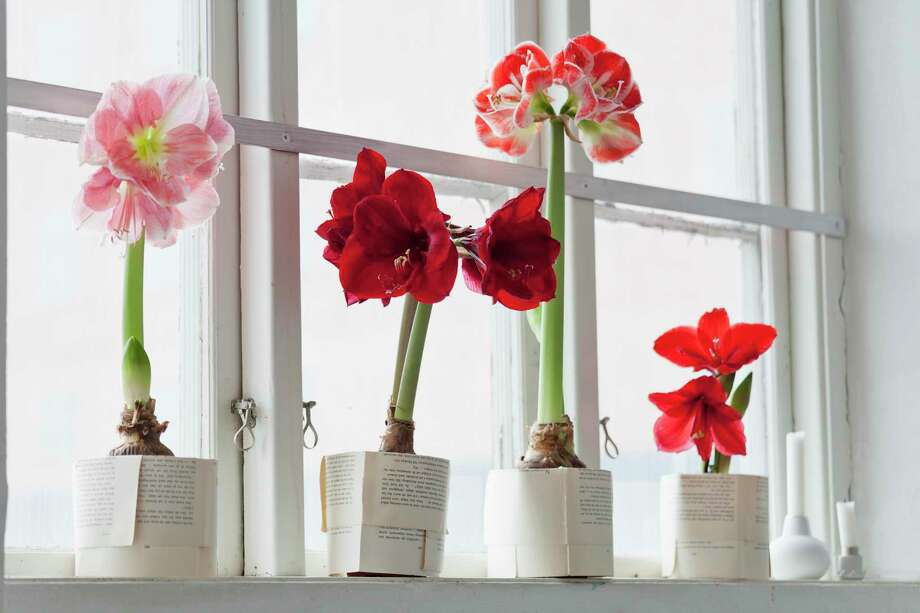 Amaryllis require care to ensure they bloom again. Photo: Johner Images, Contributor / Getty Images/Johner RF / Johner RF