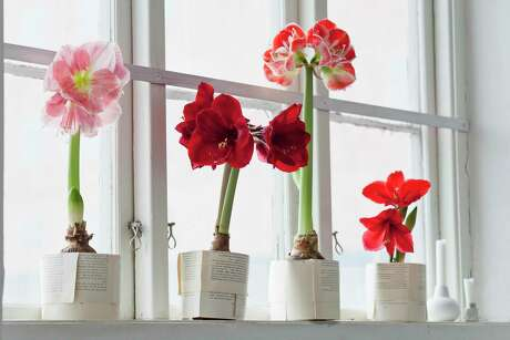 Amaryllis require care to ensure they bloom again.