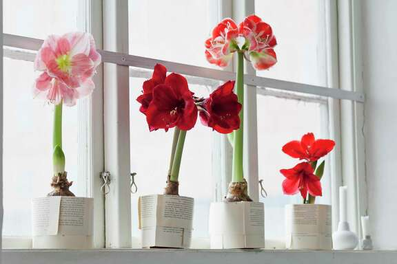 Amaryllis are easy to force into spectacular bloom for weeks of stress-free enjoyment.
