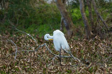 Out-of-town holiday guests can have an unforgettable experience seeing wildlife like this great egret at the Anahuac National Wildlife Refuge and Brazos Bend State Park. Photo Credit: Kathy Adams Clark. Restricted use.