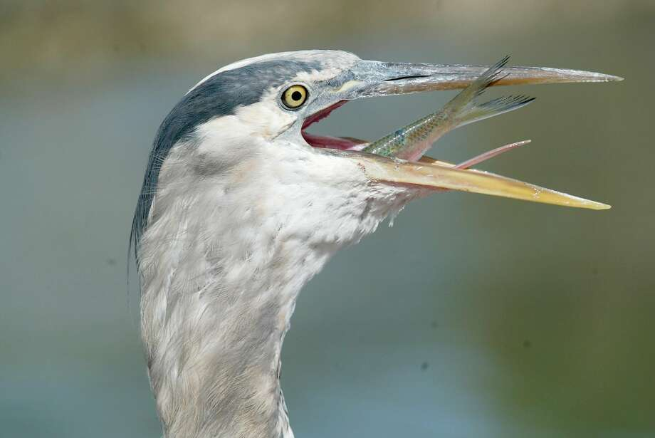 Nasty, a great blue heron, enjoys a meal from Keith Fraser, owner of Loch Lomond Live Bait shop in San Rafael. Photo: Lance Iversen / The Chronicle 2009