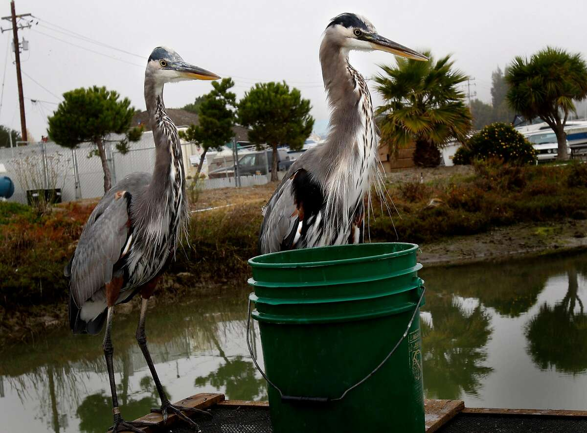 Nasty and Nasty Jr., two adult Great Blue Herons consider some fish in a green bucket right outside the bait shop. Many mornings wild marine birds arrive at the Loch Lomond Live Bait and Tackle shop to visit with Keith Fraser, who often feeds them.