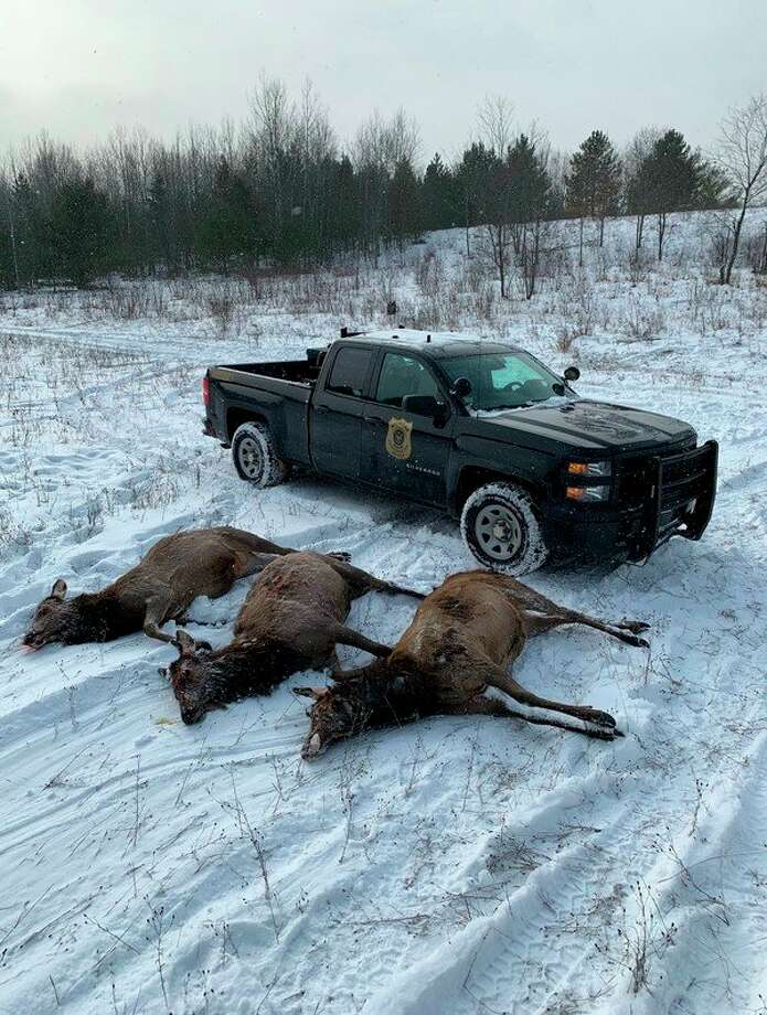 Area residents found three illegally killed elk about 50 yards north of Hardwood Lake Road near Bobcat Trail, in the Pigeon River State Forest, east of Vanderbilt. (Courtesy Photo)