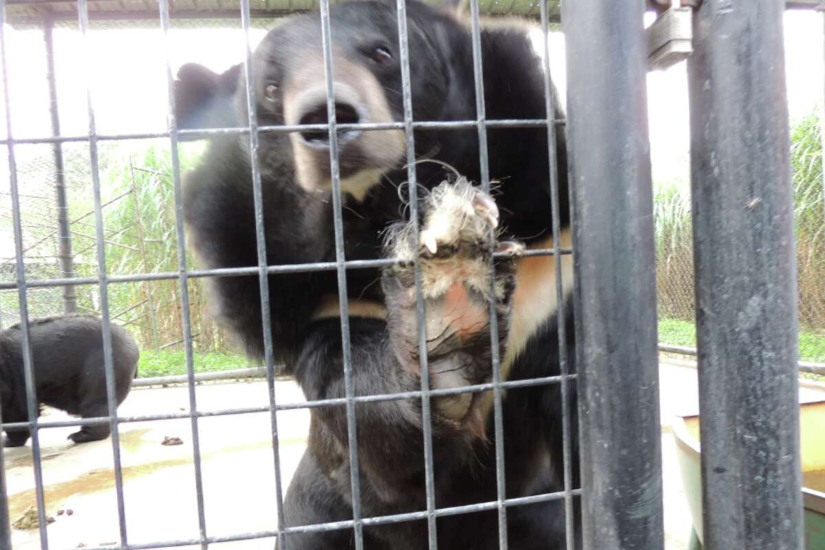 Asian black bears at Wilson's Wild Animal Park in Winchester, Va., on Aug. 15. Two bears were among 119 animals seized during a search by a multiagency team.