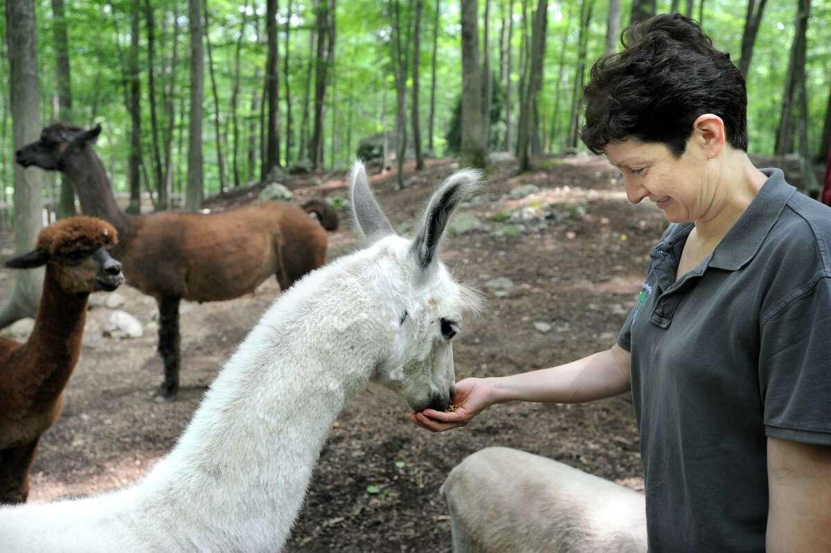 Amparo Sandoval, manager of Binn Farm in Ridgefield, feeds a llama named Vicente, Wednesday, July 21, 2010.