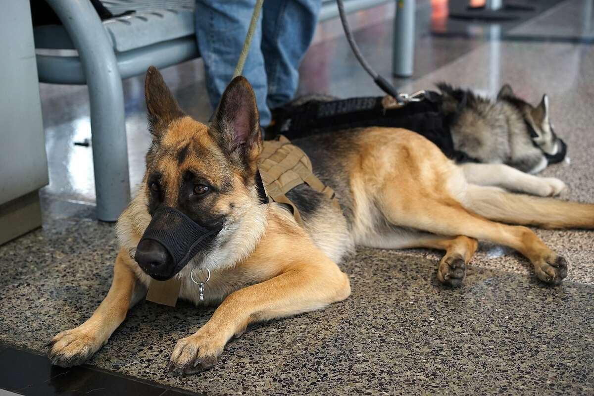 FILE: An emotional support dog is seen in an airport.