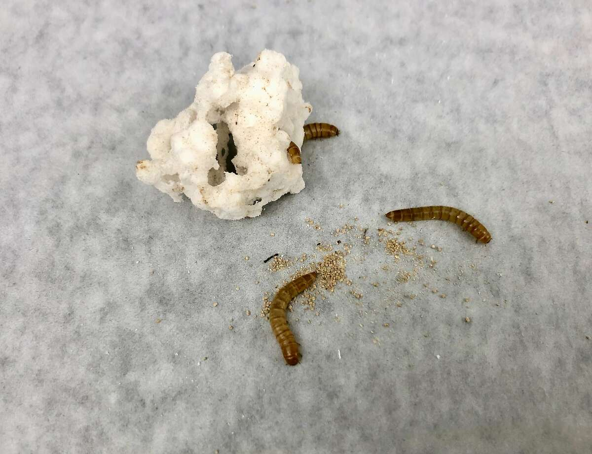 Mealworms dine on polystyrene, then excrete the brown material, which contains trace amounts of chemicals.