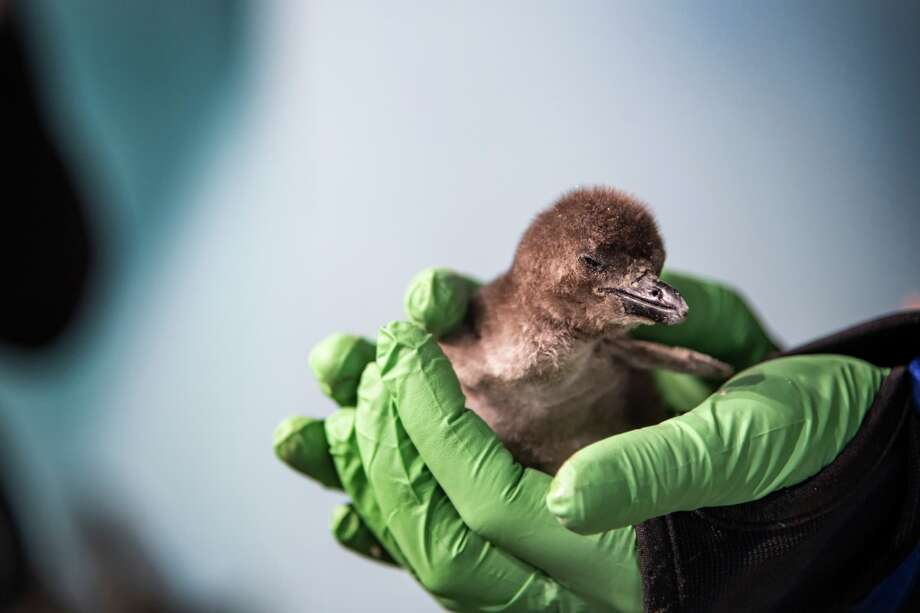 Two baby African penguins hatched at the Monterey Bay Aquarium last week, the facility announced Thursday. Photo:  © Monterey Bay Aquarium