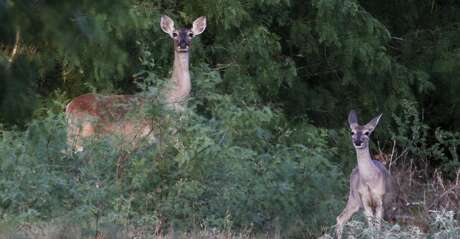 A white-tailed deer tested positive for chronic wasting disease in Val Verde County. It's the first confirmed case of the disease in the county.