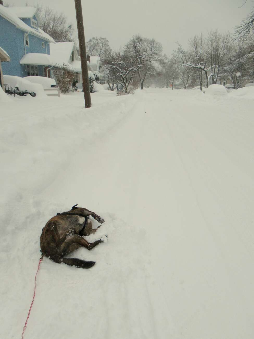 Rocky the dog pauses during a ski outing on Schenectady streets to roll in the snow. (Gillian Scott / Special to the Times Union)