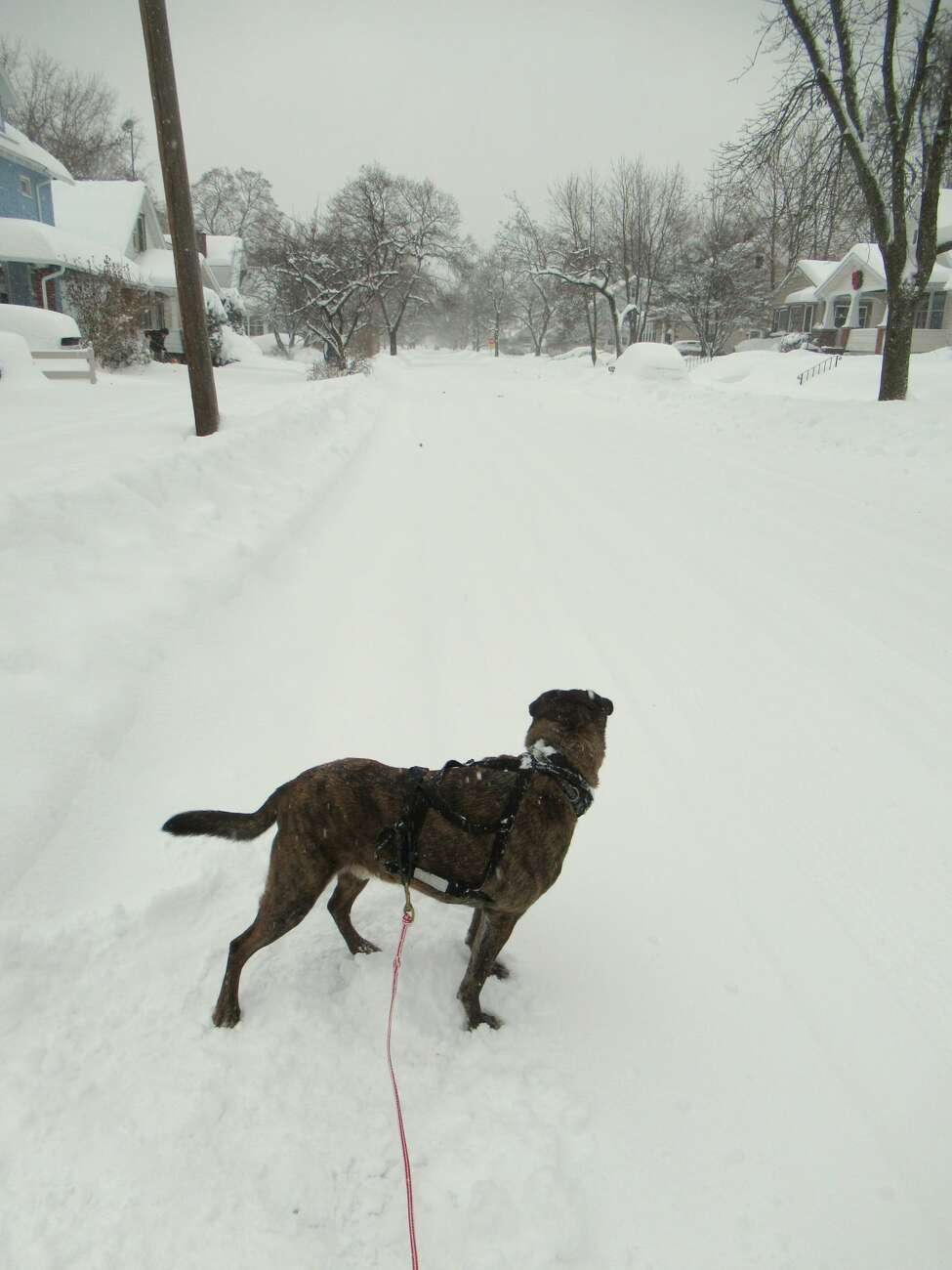 Rocky the dog during a ski outing on Schenectady streets. (Gillian Scott / Special to the Times Union)