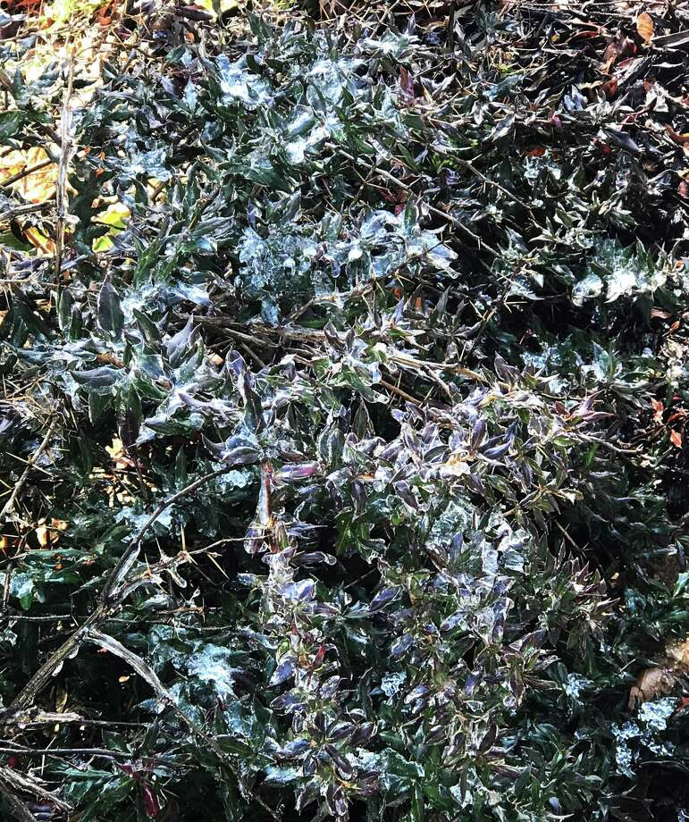 Ice on a bush alongside Saugatuck Avenue in Westport thaws out in the sun on Dec. 19, 2019. Photo: DJ Simmons /Hearst Connecticut Media /