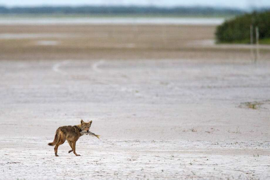 A coyote heads across the flats at dusk with a mullet near the beach south of Port Isabel on Boca Chica Highway on Saturday, March 23, 2019. Photo: Marvin Pfeoffer