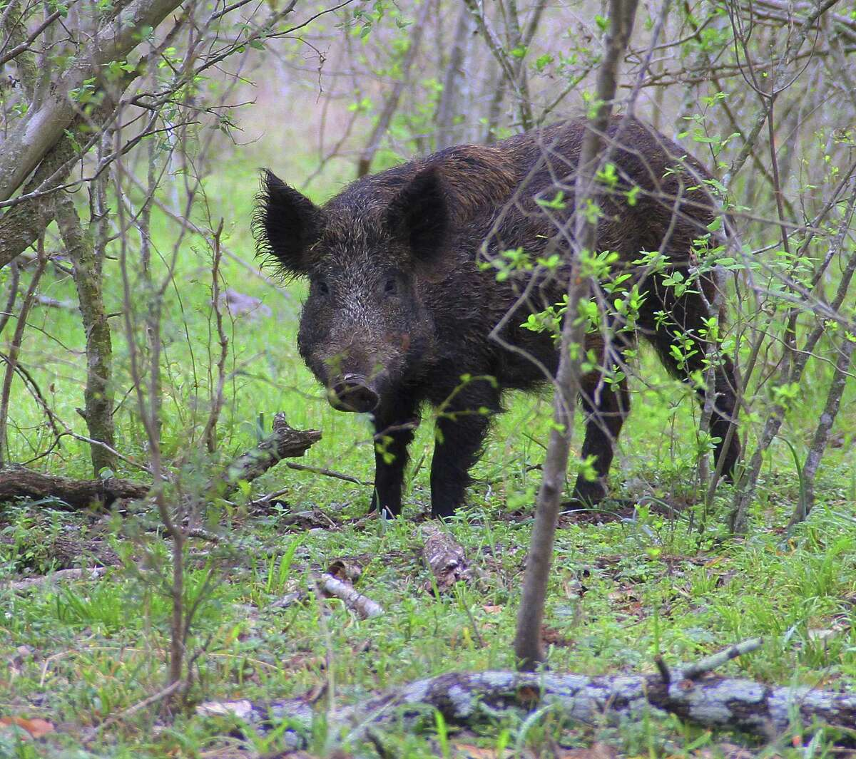 Cane Island neighbors have reported an uptick in sightings of feral hogs in the area recently.