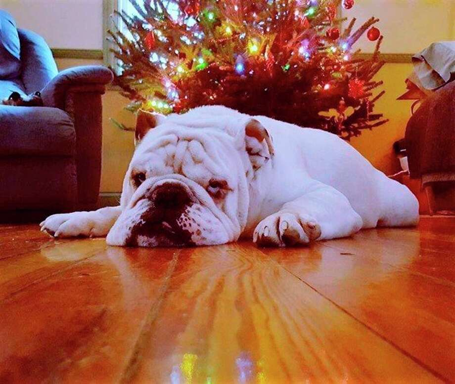 A bulldog feels festive as Christmas nears. (Courtesy photo)