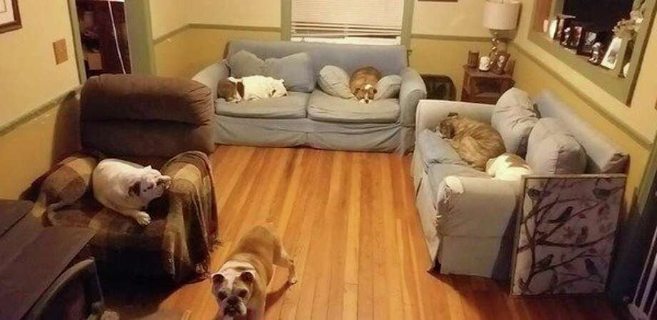 Bulldogs rest in the rescue's sleep room. (Courtesy photo)