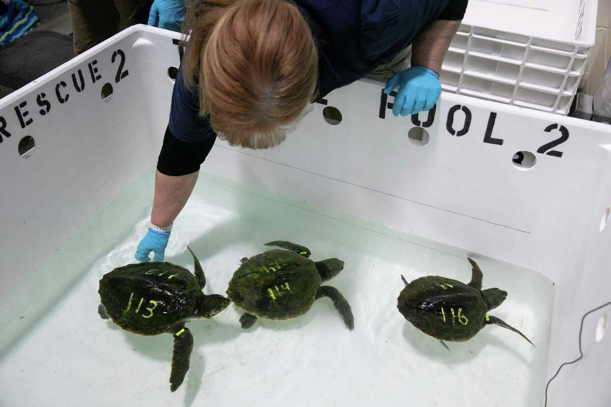 Denise Mogan, a biologist, submerges recently rescued sea turtles in a pool to see if they are in good enough condition to swim on their own at the New England Aquarium's Sea Turtle Hospital in Quincy, Mass., on Nov. 23, 2019. As the ocean warms, an increasing number of turtles are heading farther north and getting stranded once the temperatures fall. (Kayana Szymczak/The New York Times)