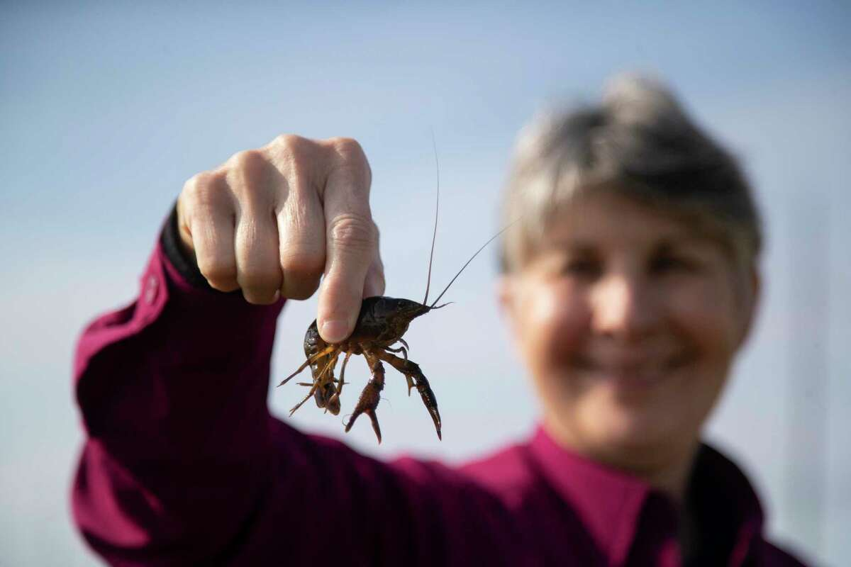 Karen Reneau holds a crawfish that was caught in a trap on Thursday, Dec. 12, 2019, in Fannett. The Reneau Farms staff rotates their fields to grow different crops different years. One field may be used for crawfish one season, then rice the next. They began selling crawfish to complement their rice business.