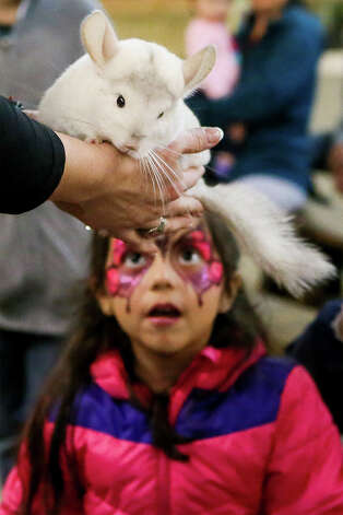 Rylee Montanez, 5, meets Olaf Jr, an eight-month-old chinchilla held by Courtney Pineda with Wild Things ZOOfari during a hands-on demonstration with exotic animals at the Texas Wildlife Expo at the San Antonio Stock Show & Rodeo on Tuesday, Feb. 19, 2019. Photo: Marvin Pfeiffer / Express-News 2019