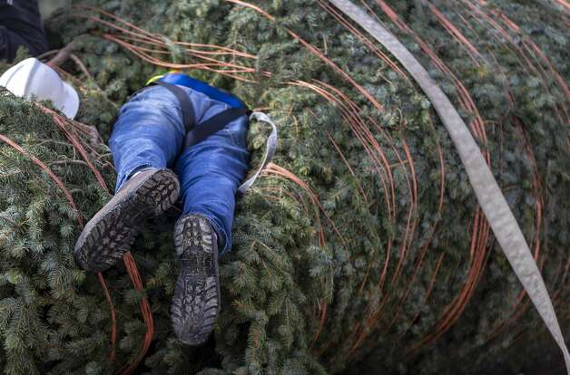Mark Buchhorn buries himself Tuesday, Nov. 19, 2019, in the city's Christmas tree while trying to get to the trunk as he prepares for the tree's installation in Travis Park. Photo: William Luther/Staff