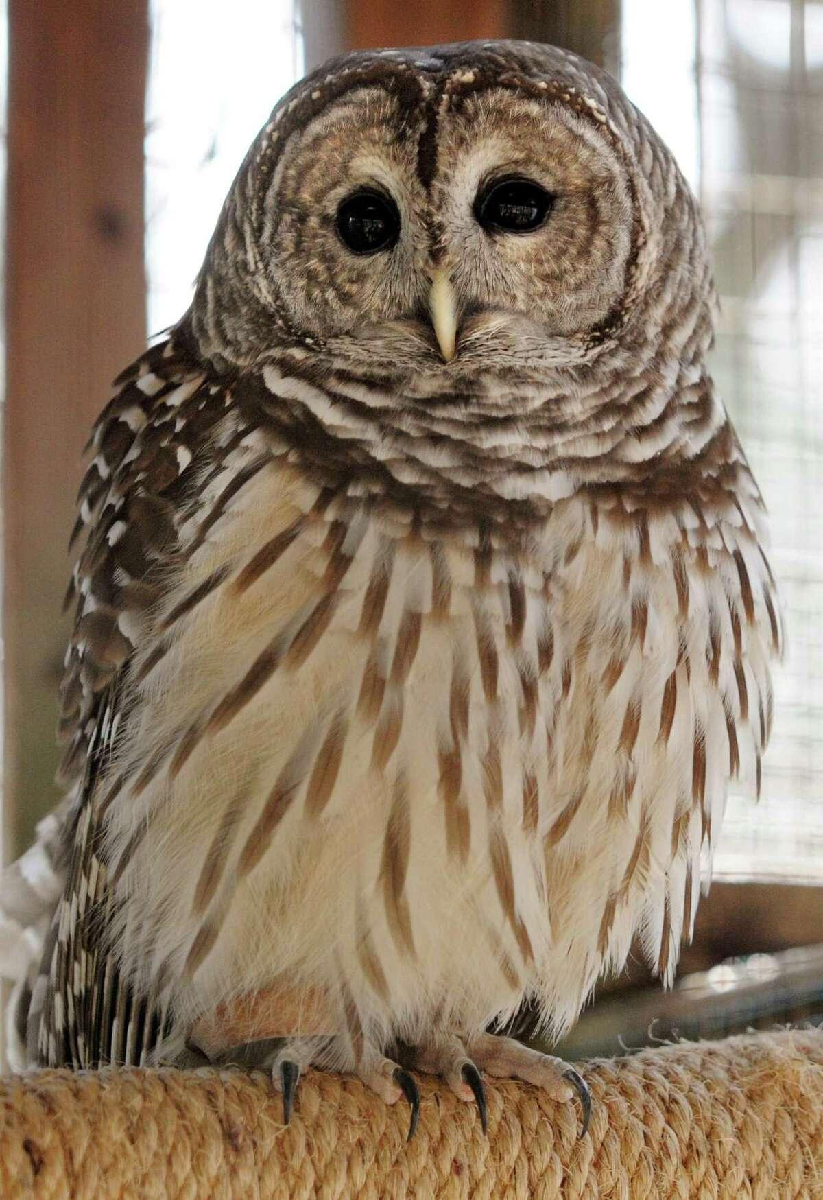 A Barred Owl at the Connecticut Audubon Society in Fairfield.