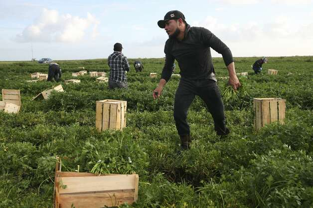 Mexican workers pick parsley in a field south of Belle Glade, Florida, Thursday, May 2, 2019. Palm Beach County is home to around 10,000 migrant workers during the season according to the Farmworker Coordinating Council's website. Photo: Jerry Lara/Staff Photographer