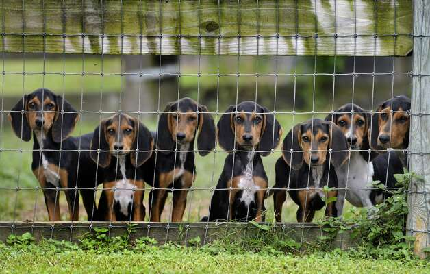 Coonhound pups in training for search duties are kept at Texas Canine Tracking and Recovery on Tuesday, Sept. 24, 2019. The facility sends trained coonhounds to South Africa to aid in the fight against rhino poaching. Photo: Billy Calzada/Staff Photographer