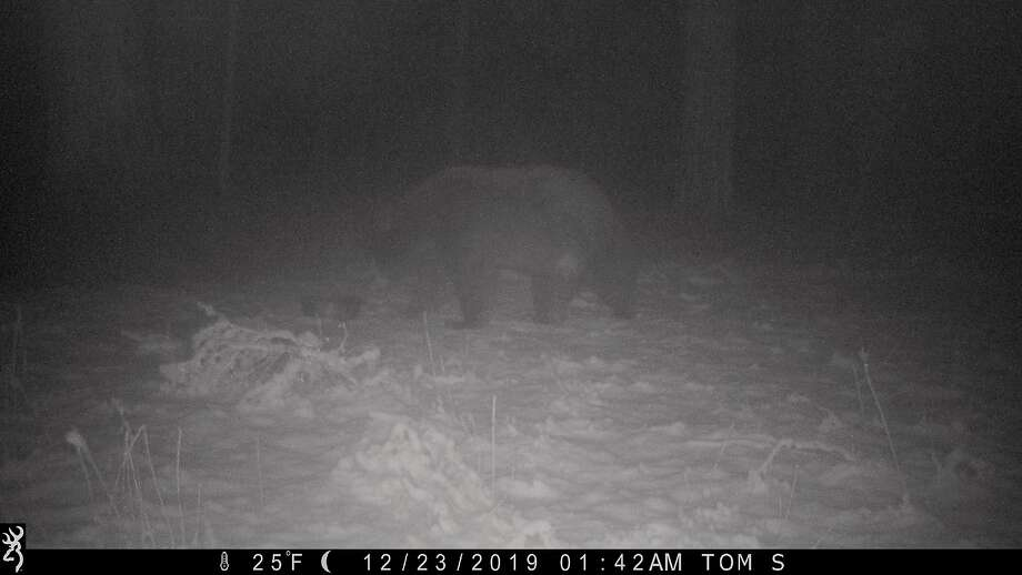 On a frozen night in snow in national forest, a bear -- not hibernating -- was attracted to a water dish Photo: Photos By Tom Stienstra / The Chronicle