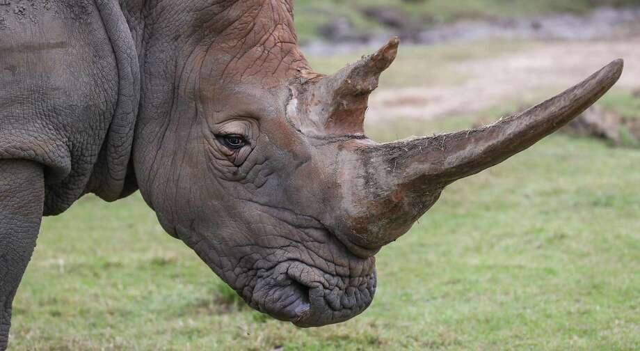 """Don't be distracted by a metaphorical """"rhino"""" this Christmas. The spirit of the holiday is all about the giving, not the wanting. Photo: Staff File Photo / © 2017 Houston Chronicle"""